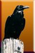 Raven 1x1.5
